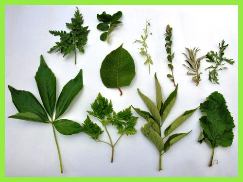 bladstructuur / leafstructure