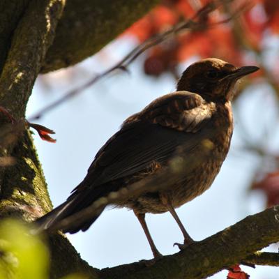 Merel – Blackbird