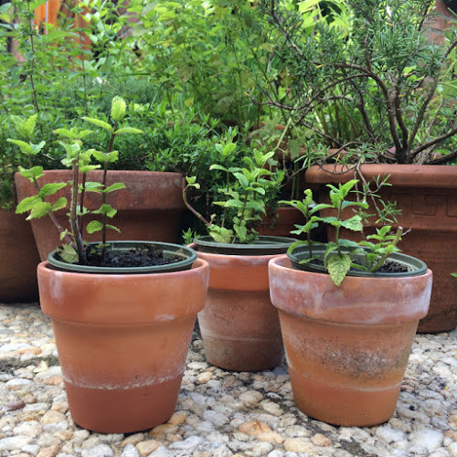 Munt stekken – Mint cuttings